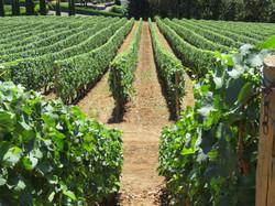 Vineyards Rows
