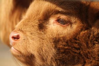 jeune veau highland