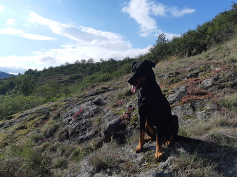 Maya l'un de nos chien de troupeau