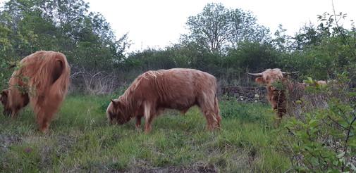 jeune taureau entrain de paturage une zone xérophile