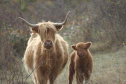 Vache highland et son veau