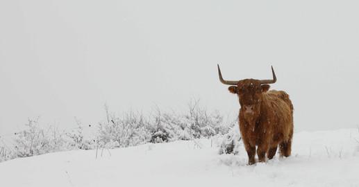Epine vinette sous la neige