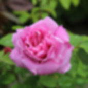 rose fleurie