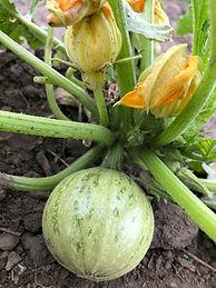 zucchinis ronds.jpg