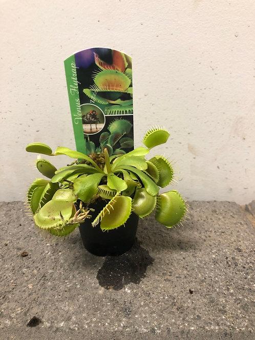 Dionée (plante carnivore)