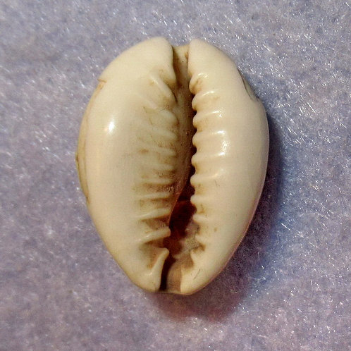 Hartill 1.1 ANCIENT CHINA Cowry shell money Earliest Coin Shang Dy. 1766-1154 BC