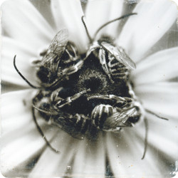 four bees grimm