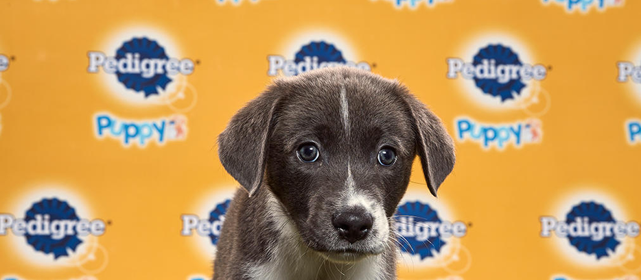 Puppy Bowl XVI: Who's the Best Pup? Our Data Science Model Calls The Ball