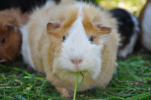 guinea-pig-498054_1920.jpg