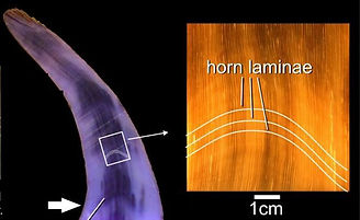 Rhino Horn Laminae Structure