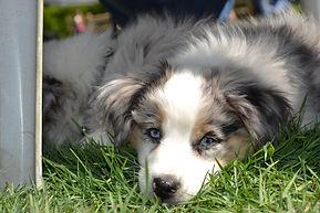 Good citizen dog training, dog obedience training