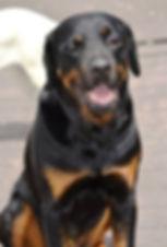 rottweiler training, Train my dog, puppy training