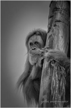 l orang outan