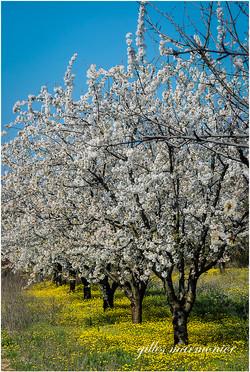Les cerisiers 2