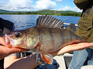 Lough Derg is full of perch