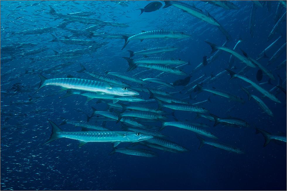 Blackfin Barracuda - Sphyraena qenie