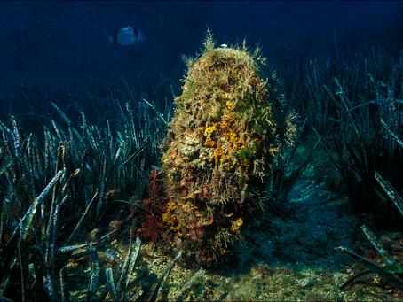 Alertan de la mortandad masiva de la nacra, el molusco bivalvo más grande del Mediterráneo