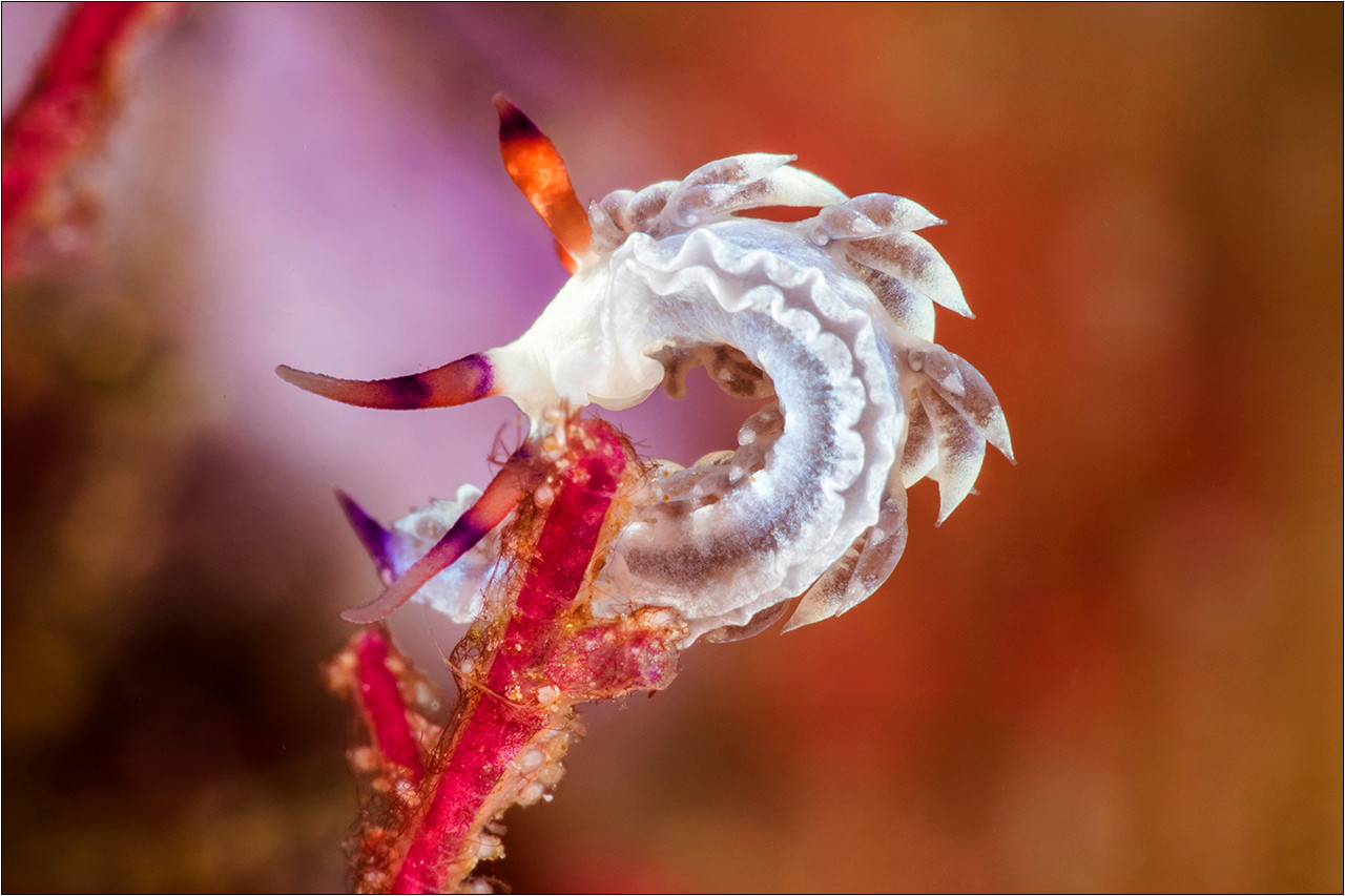 Nudibranch - Tenellia sp
