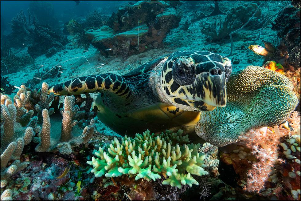 Green Sea Turtle - Chelonia mydas