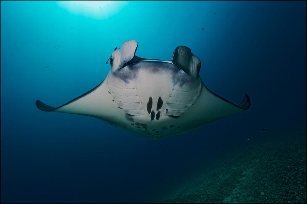 Reef Manta Ray - Mobula alfredi