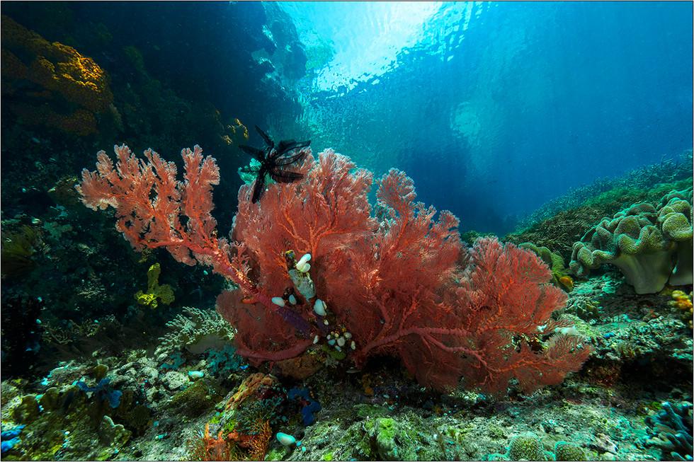 Sea Fan in shallow water