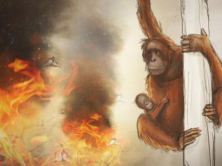 El chocolate que te comes aquí puede matar orangutanes en Indonesia