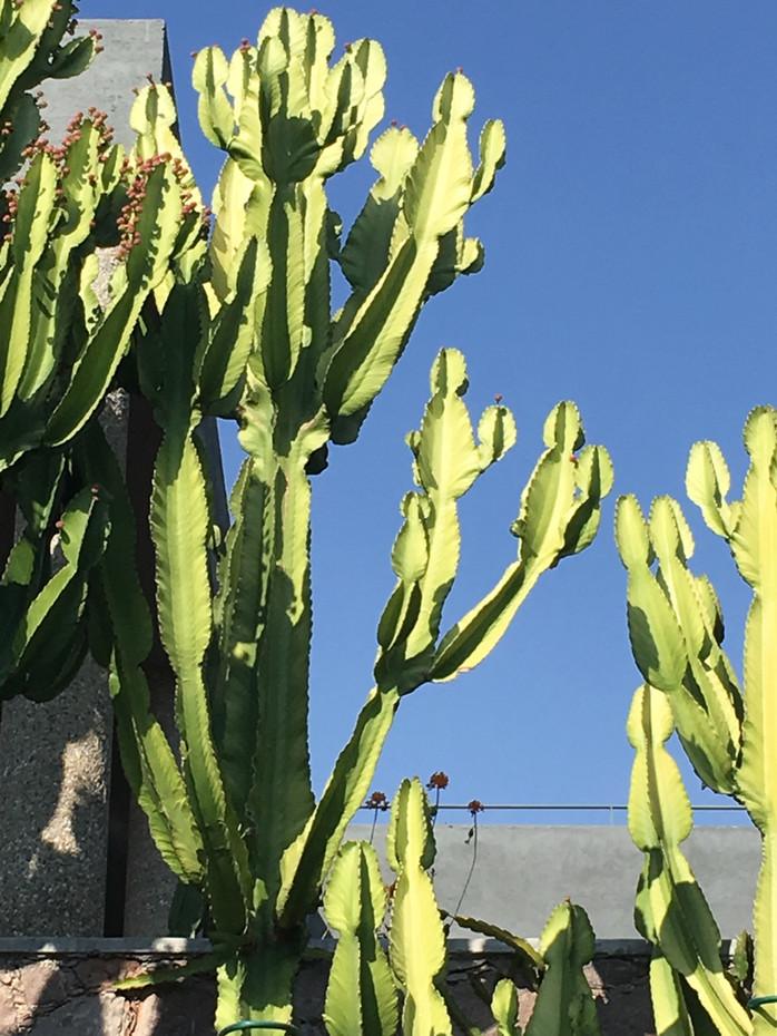 local cactus