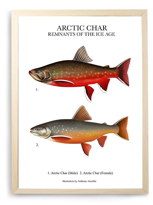 Arctic Char - Print