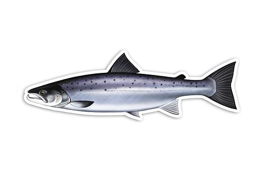 Sea Run Atlantic Salmon - Waterproof Sticker