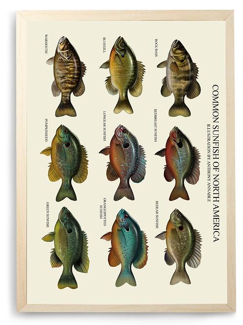 Common Sunfish of North America - Chart Print