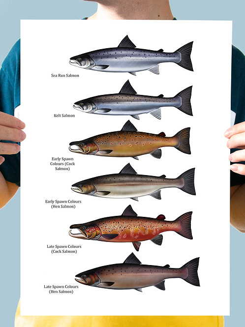 Atlantic Salmon - Chart Print