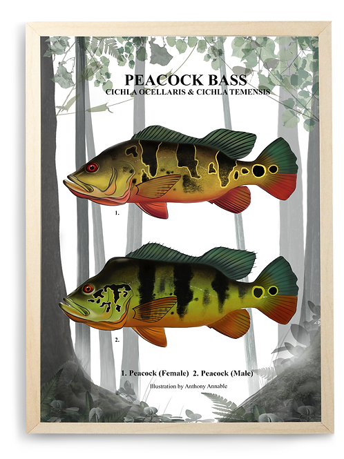 Amazonian Peacock Bass - Print
