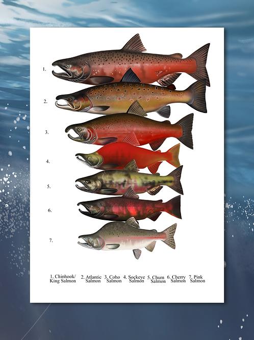 Salmon Species (Spawning)  - Chart Print