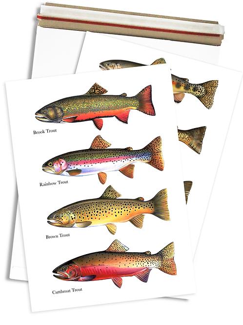 4 Trout Species - Chart Print
