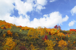Colorful  Leaves In Hachimantai