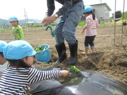 平成28年度6月 さつま芋苗植え