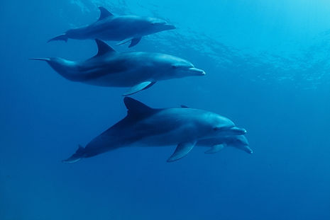 Bottlenose Dolphins - Pic by Greg De Valle