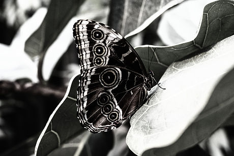Black and white image of a butterfly with circular patterns on the wings, perched on a leaf.