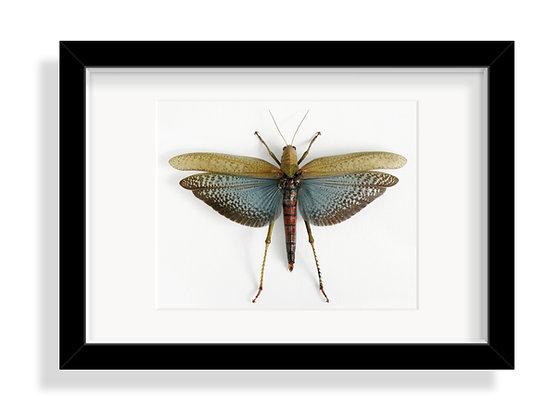 Riesenheuschrecke collaris ♀
