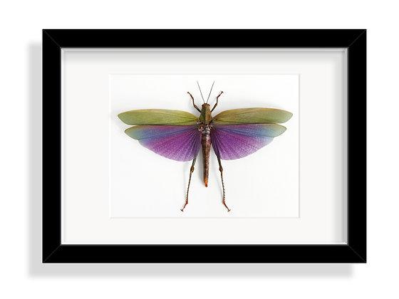 Riesenheuschrecke albipes ♀