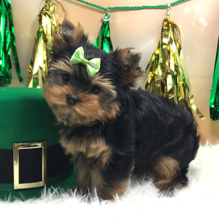 St. Patrick Day Puppies all found their homes