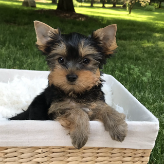 Two little Yorkie boys available!