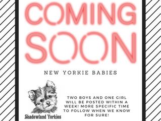 New Yorkie Babies coming soon!