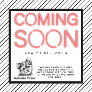 New Yorkie Babies coming soon!