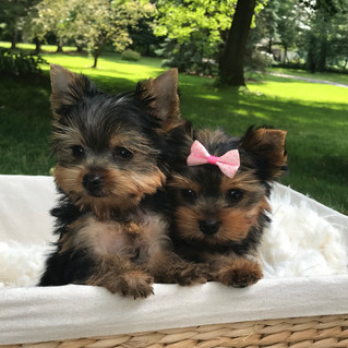 Sweet little April puppies just went home!