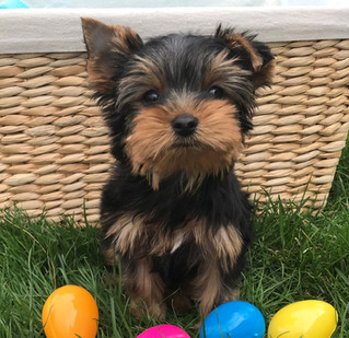 Just one little Yorkie furbaby left!