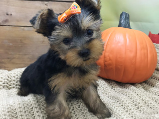 New Puppies just added to Our Available Puppies page!
