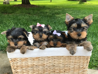 These sweet babies have all found homes! Now accepting deposits for next litters!
