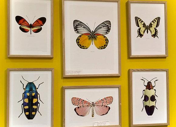 Affiche Papillon A4 encadrée. Impression de macrophotographie