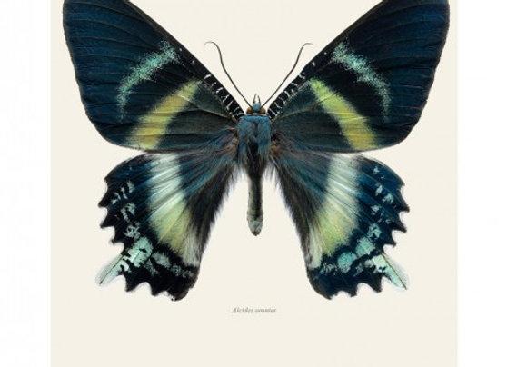 Affiche Papillon 30x40 _LILJEBERGS